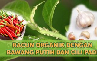 racun organik buat sendiri bawang putih cili pedas
