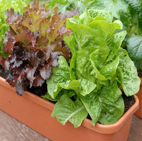 sayur salad merah dalam pasu