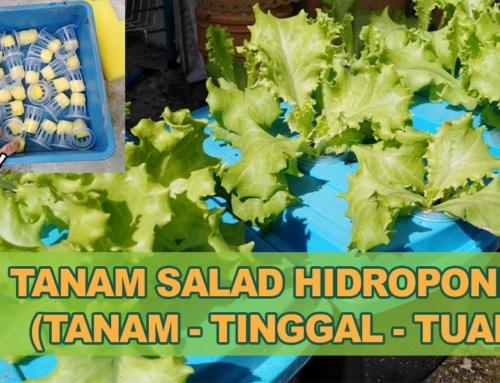 Cara Tanam Salad Hidroponik (11 Langkah Mudah Untuk Newbie)