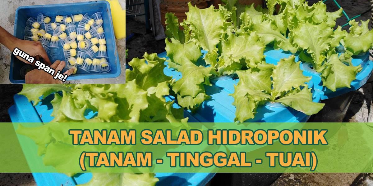 Cara Tanam Salad Hidroponik lettuce selada